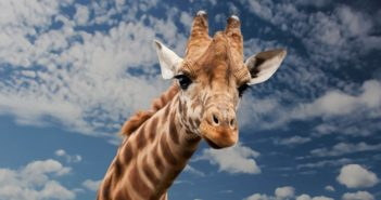 giraffe-animal-funny-facial-expression-39504