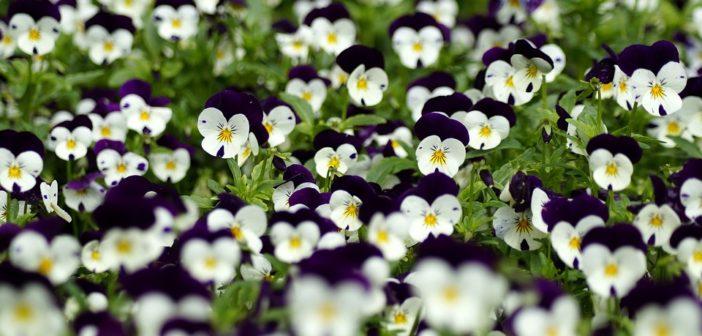 Мешканцям варшави роздаватмуть квіти